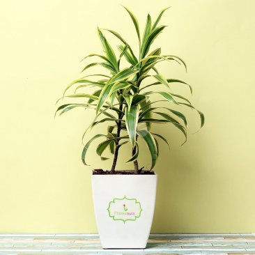 Song Of India Plant